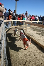 Washington farms pig races